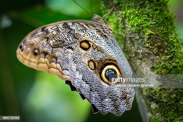 Costa Rica, owl butterfly mariposa