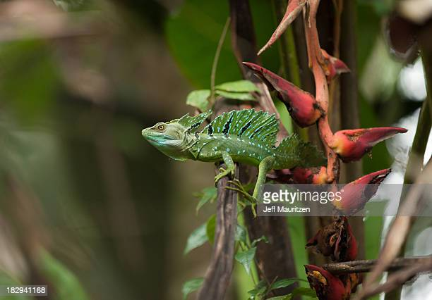 A basilisk rests in a tree.