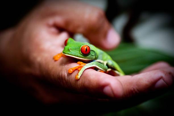Costa Rica - rana verde - green frog