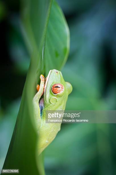 Costa rica red eyed tree frog