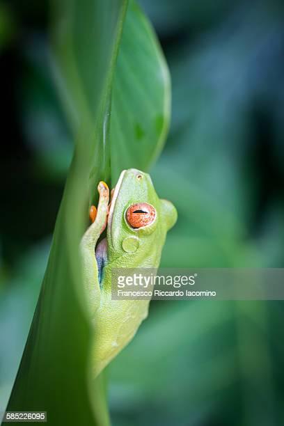 costa rica red eyed tree frog - iacomino costa rica foto e immagini stock