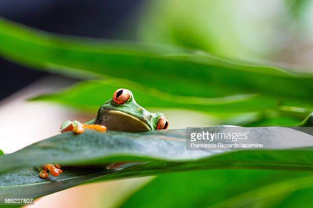 Costa Rica, red eyed tree frog
