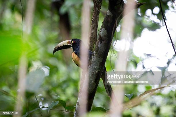 costa rica toucan, cahuita national park - iacomino costa rica foto e immagini stock
