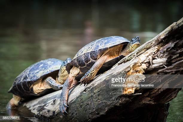 costa rica, turtles at tortuguero national park - iacomino costa rica foto e immagini stock