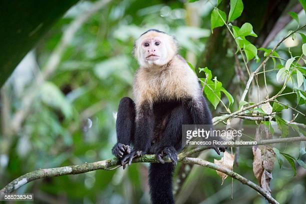 costa rica, white faced capuchin monkey - mono capuchino fotografías e imágenes de stock