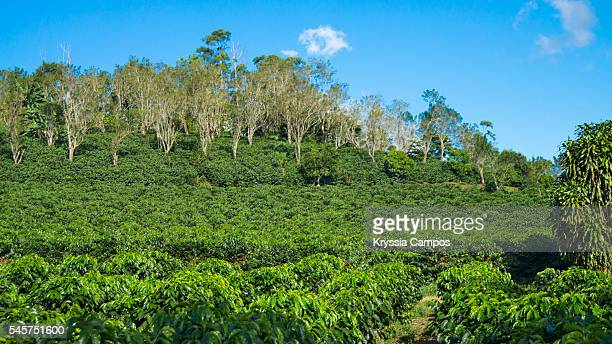 Costa Rican coffee landscape