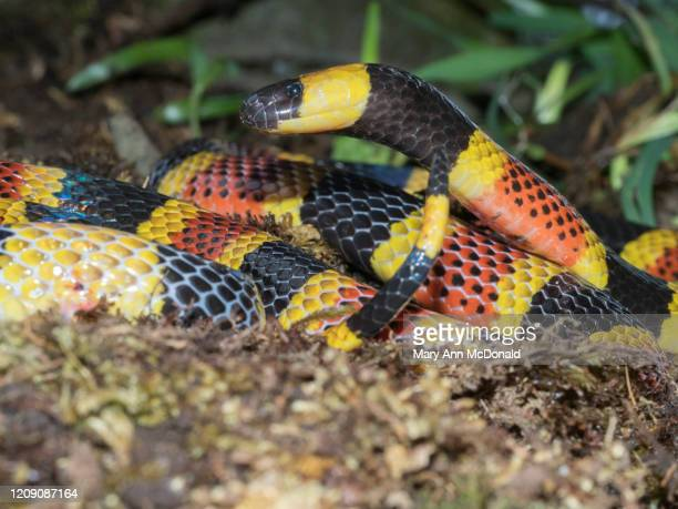 costa rican coral snake - coral snake stock pictures, royalty-free photos & images