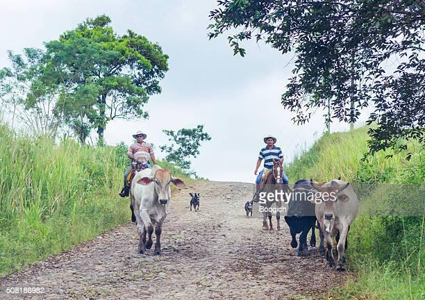 Costa-Ricanische Cowboys zu Pferd Drive-Rind an Felsigen Straße