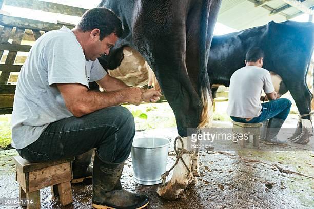 Costa Rica agriculteurs traite les vaches à l'ancienne