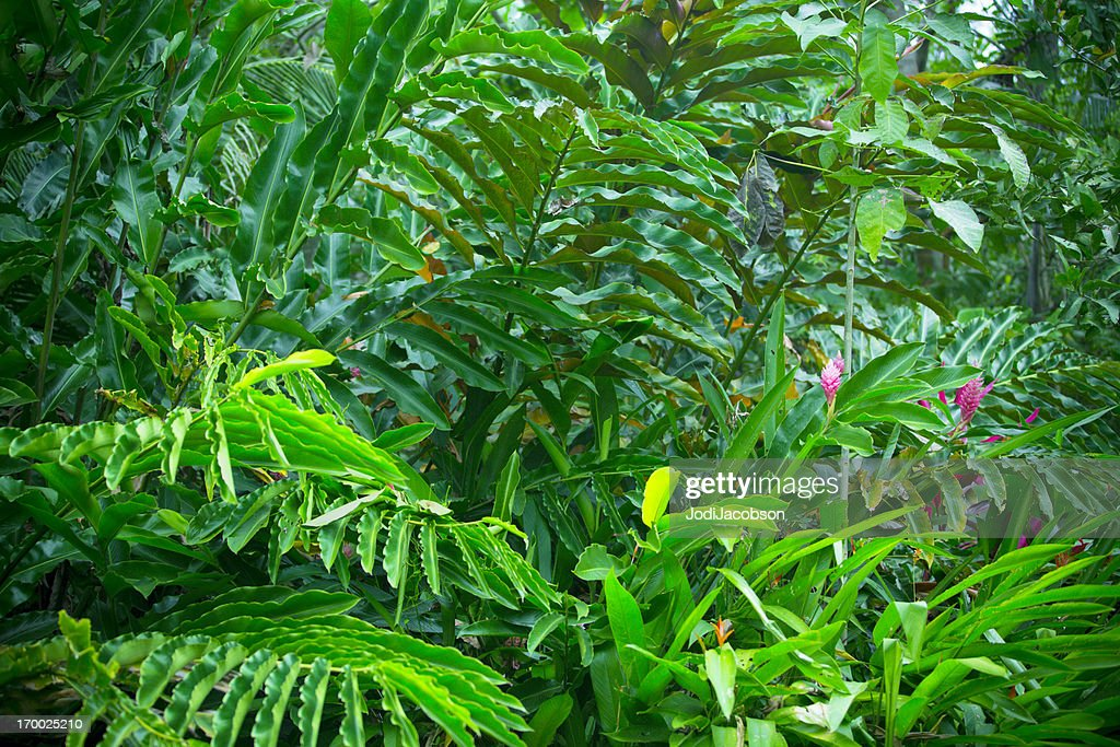 Costa Rican rain forest covered in dense vegetation : Stock Photo
