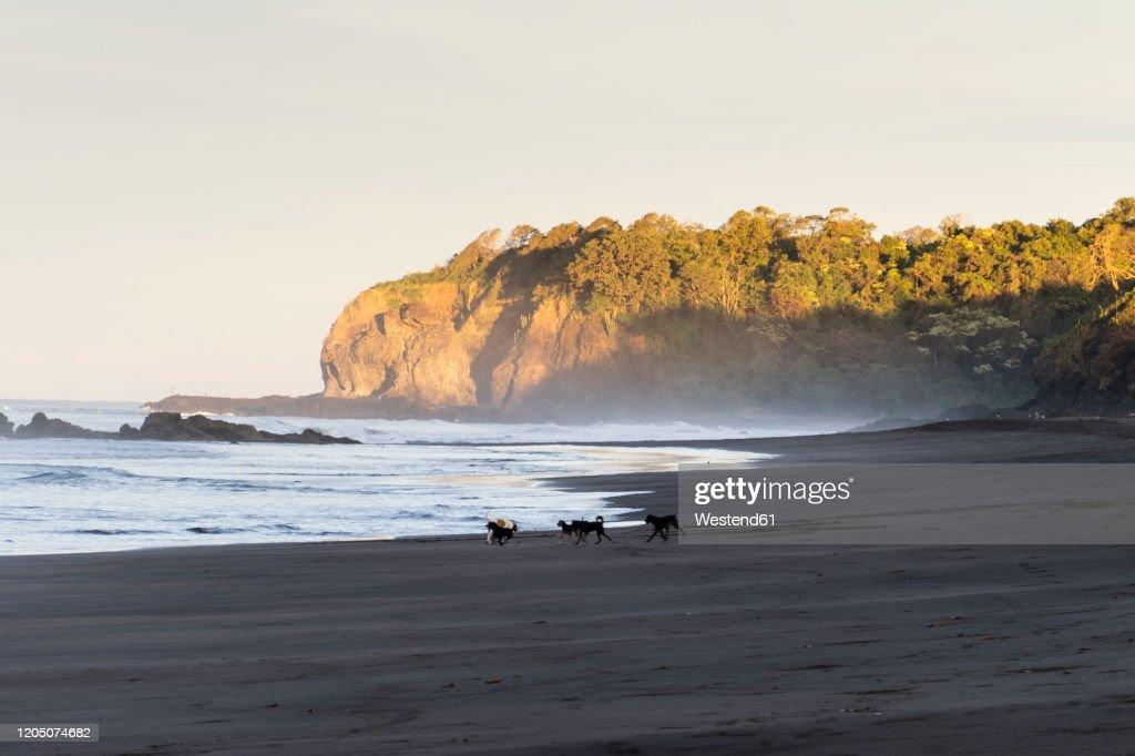 CostaRica,GuanacasteProvince, Ostional, Dogs playing on sandy coastal beach at dawn : Foto de stock