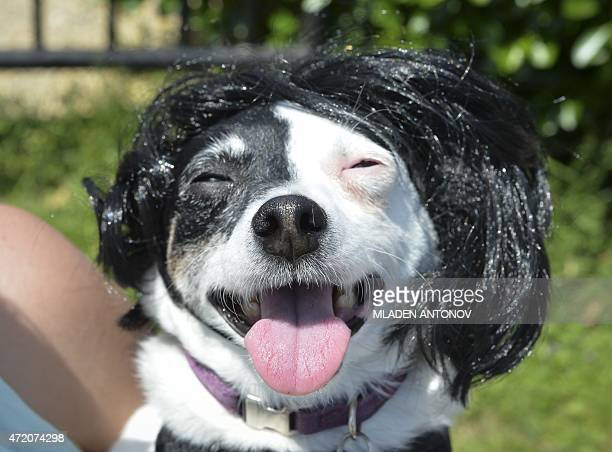 A costumed Chihuahua dog poses during the 4th annual 'Running of the Chihuahuas' in Washington DC on May 3 2015 The annual Chihuahua event marks the...