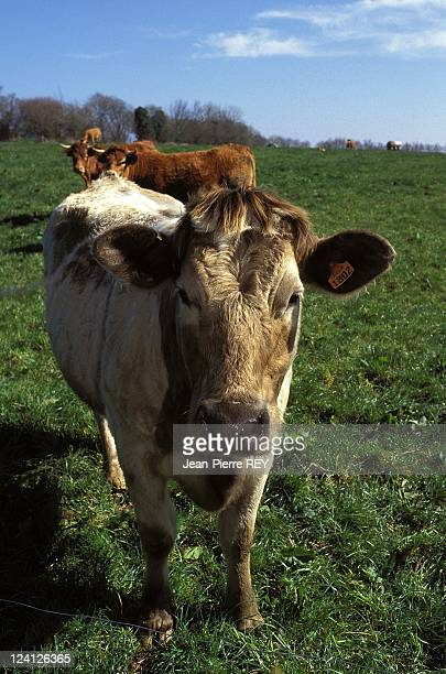 Cotes d'Armor mad cow disease 110 head of cattle to be slaughtered In Plourac'h France On March 27 1996 Mr Hourman's cows