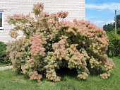 Cotinus  or Smoky Shrub blooms in summer with lush pink flowers that look like    cotton wool