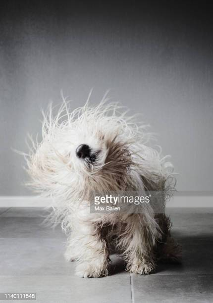 coton de tulear shaking itself to dry its fur - nass stock-fotos und bilder