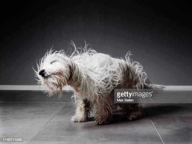 coton de tulear shaking itself to dry its fur - good condition stock pictures, royalty-free photos & images