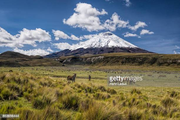cotopaxi volcano and wild horses - ecuador stock pictures, royalty-free photos & images