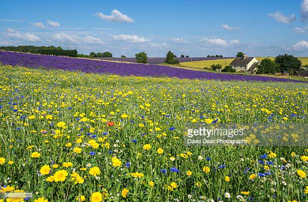 cotswolds lavender fields - meadow stock photos and pictures