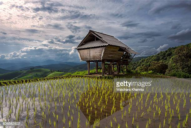 cottage and rice fields