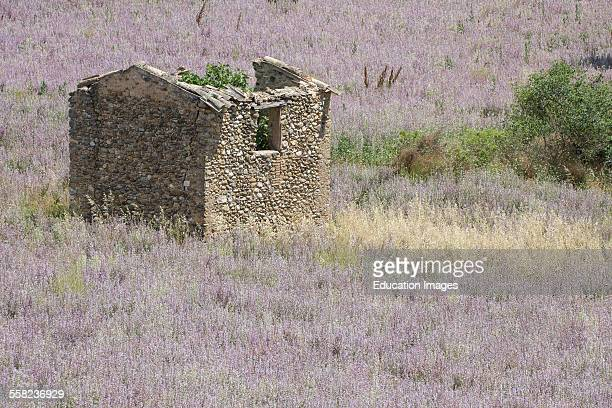 Cottage In Field of Flowers Clary Sage Salvia Sclarea France