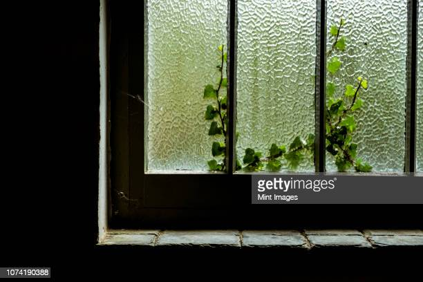 A cottage window with a crackle glaze opaque effect, woodwork with paint, and a stone slate window sill.  Ivy growing up the outside.