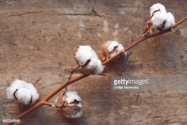 Cotton Blossoms on wooden table