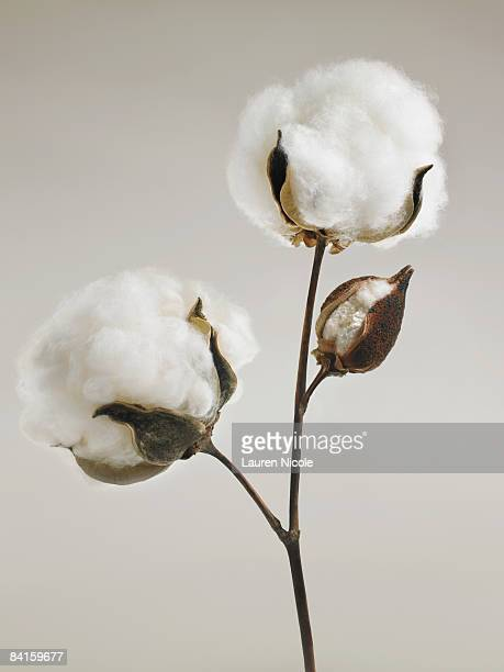 cotton blossoms - cotton stock pictures, royalty-free photos & images
