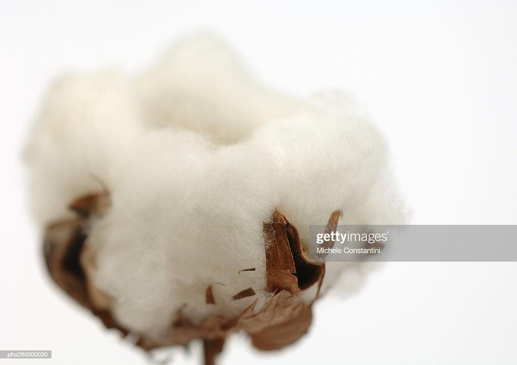 Cotton boll, close-up : Photo