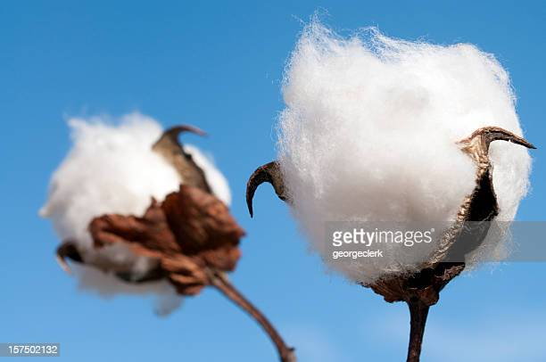 cotton boll macro - cotton stock pictures, royalty-free photos & images