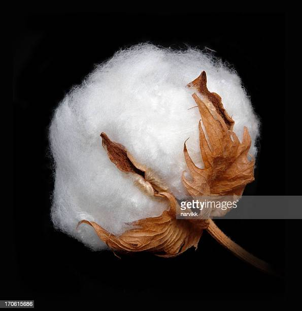 cotton boll - katoenbol stockfoto's en -beelden