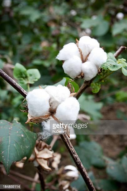 de coton boll - coton photos et images de collection