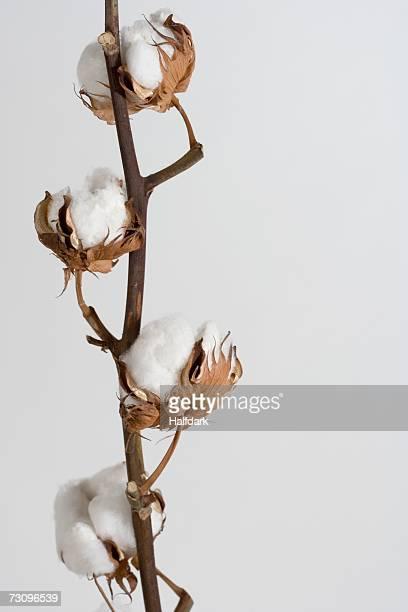 Cotton Boll Plant