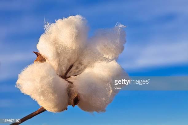 cotton boll with sky in background - katoenbol stockfoto's en -beelden