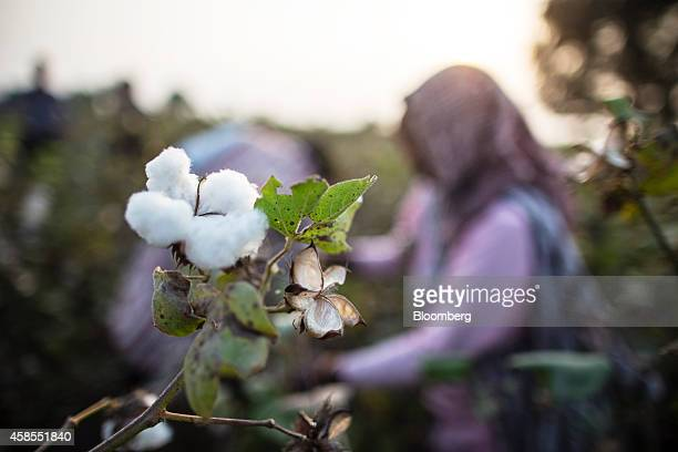 Cotton bolls grow on a plant during a harvest in Pilibanga Rajasthan India on Tuesday Nov 4 2014 India may topple China as the world's largest cotton...