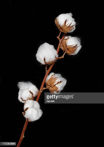 cotton bolls - cotton harvest stock pictures, royalty-free photos & images