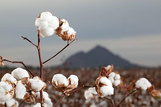 cotton culin plan ahead - 800×479