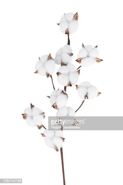 cotton branch isolated on the white background - cotton stock pictures, royalty-free photos & images