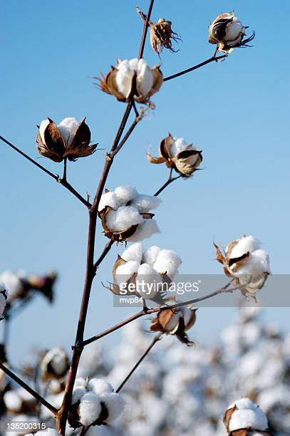 cotton branch - cotton stock pictures, royalty-free photos & images