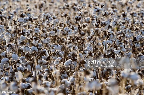 cotton buds sit in a field during harvest - katoenbol stockfoto's en -beelden