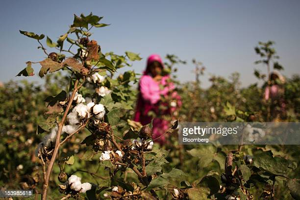 Cotton bulbs await harvesting in a field in AbbasPur village in the Lodhran district of Punjab province Pakistan on Saturday Oct 6 2012 Pakistan the...