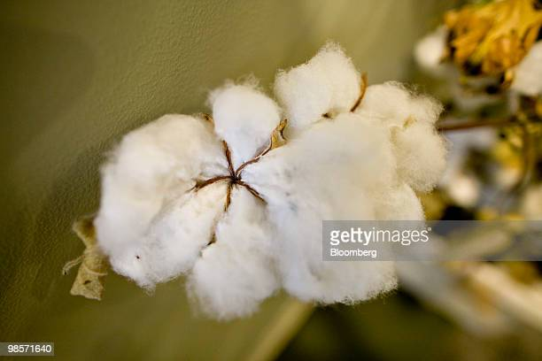 Cotton fibers hang from a cotton plant on display outside a Monsanto Co lab in St Louis Missouri US on Thursday April 15 2010 Monsanto Co the world's...