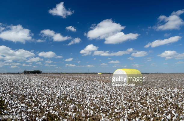 Cotton field at the heart of the Mississippi Delta - Mississippi