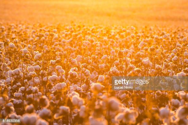cotton field backlighted by sunset - cotton stock pictures, royalty-free photos & images