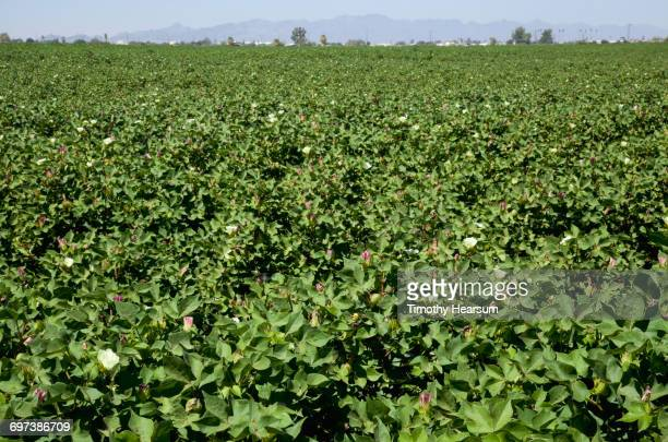 cotton field in bloom - timothy hearsum stock pictures, royalty-free photos & images
