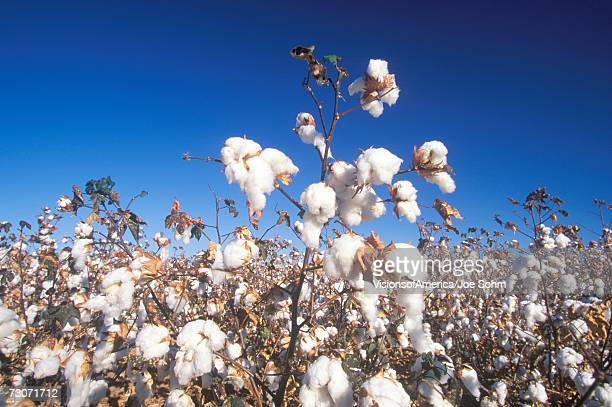 'Cotton field in Tucson, AZ'