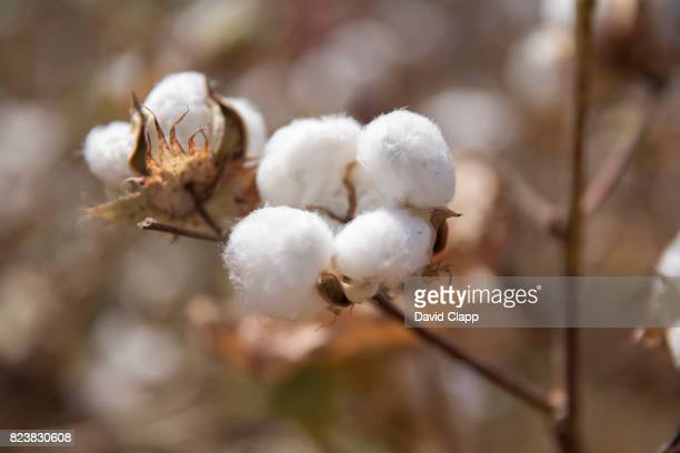 cotton fields, sardargarh, rajasthan, india - cotton stock pictures, royalty-free photos & images