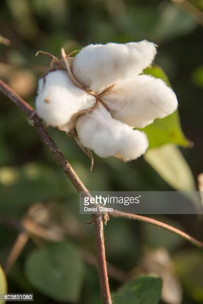 Cotton fields, Sardargarh, Rajasthan, India