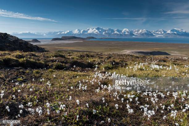 cotton grass (eriophorum sp.), mountains, holmbugt, kong oscar fjord, northeast greenland national park, greenland - nationalpark stock-fotos und bilder