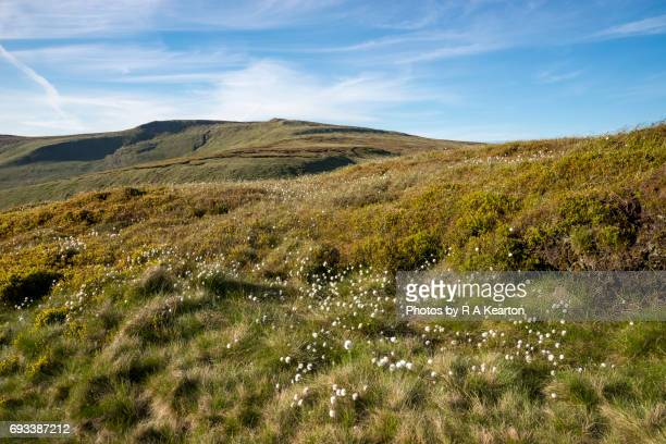 cotton grass on shelf moor, bleaklow, high peak, derbyshire - grass area stock pictures, royalty-free photos & images