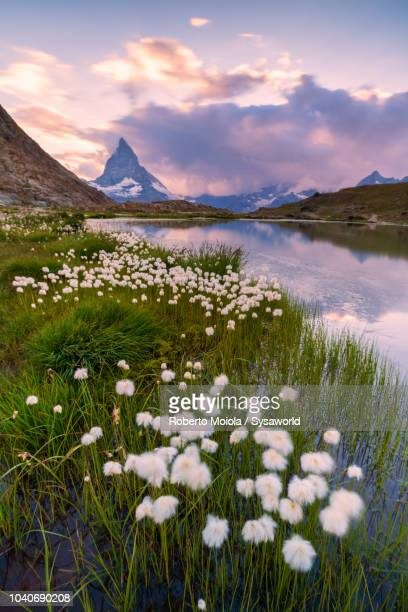 cotton grass on the shore of riffelsee lake - swiss alps stock pictures, royalty-free photos & images